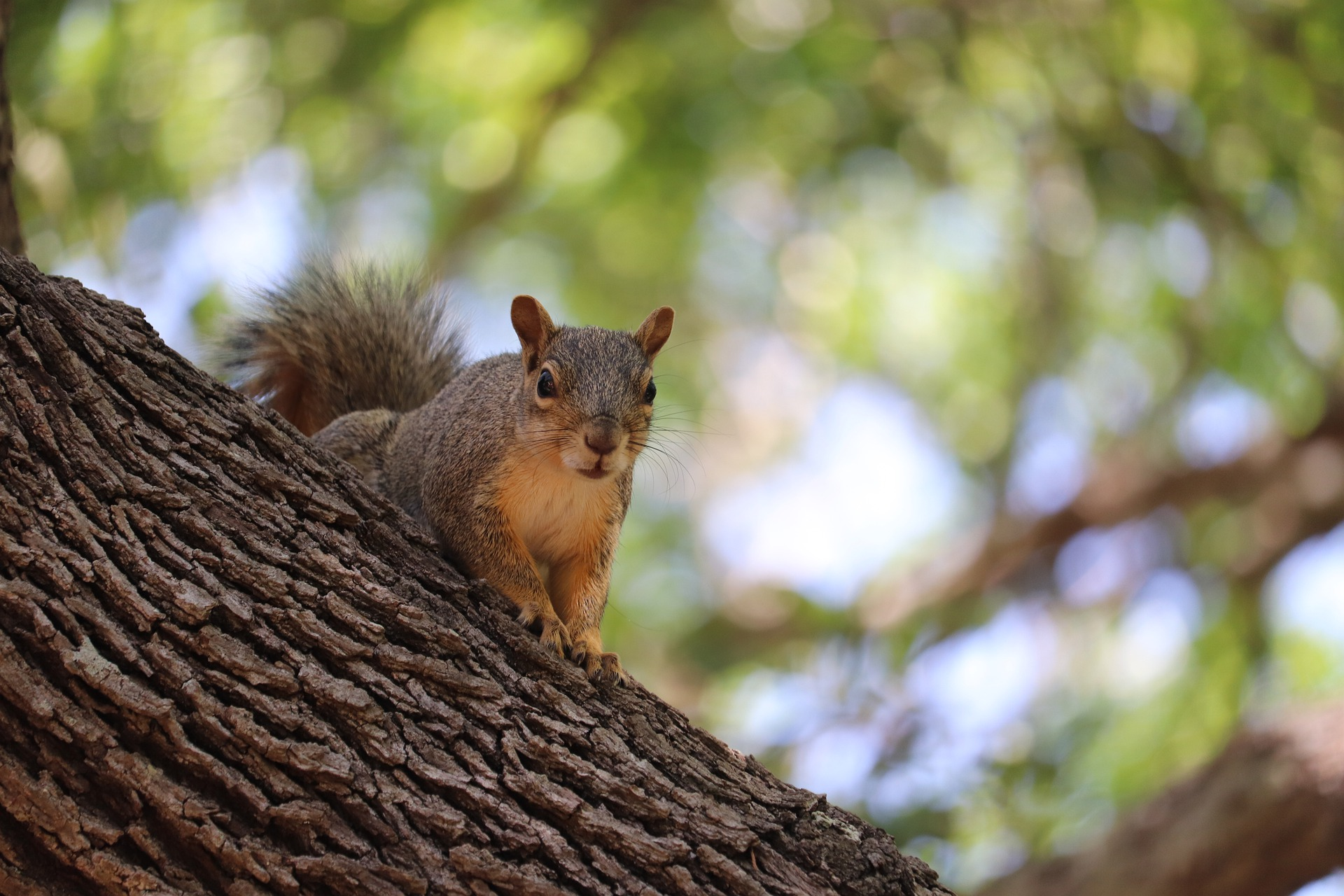 Squirrel Hadleigh Great Wood